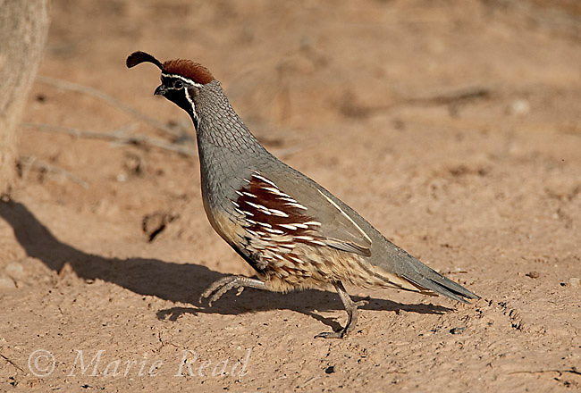 Gambel's Quail (Callipepla gambelii) male running, Salton Sea National Wildlife Refuge, California, USA
