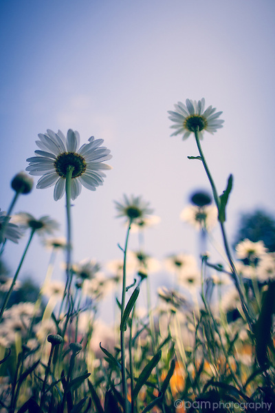 underneath white daisies looking up at a blue sky