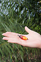 A single unripe palm fruit in palm of hand. The Sindora Palm Oil Plantation, owned by Kulim, is green certified by the Roundtable on Sustainable Palm Oil (RSPO) for its environmental, economic, and socially sustainable practices. Johor Bahru, Malaysia