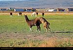 Llama Courtship Ritual, The Denouement, Loa, Utah