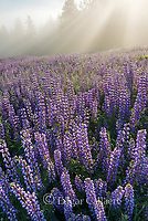 Lupin, Lupinus angustifolius, Lifting Fog, Williams Ridge, Redwood National Park, California