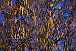 A87DG0 Silver Birch tree with catkins