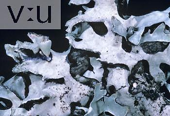 Foliose Lichen ,Parmelia sulcata, with marginal soredia, North America. X2.