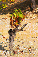 Domaine Borie la Vitarèle Causses et Veyran St Chinian. Languedoc. Old, gnarled and twisting vine. Terroir soil. France. Europe.