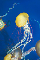 435250007 pacific sea nettle chrysaora fuscescens swim and float in their aquarium at the long beach aquarium in long beach california