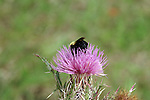 A bumble bee settles in for lunch break on a thistle blossom.