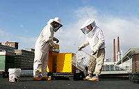 Nederland - Eindhoven - 2017 .  Twee imkers ( Asha Pogosova  en Alessandra Scalora ) aan het werk op het dak van het Ketelhuis op Strijp-S.  Foto Berlinda van Dam / Hollandse Hoogte