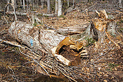 Stump of a yellow birch in Unit 36 of the Kanc 7 Timber Harvest Project during the spring months in the White Mountains of New Hampshire. Referenced from the Kanc 7 proposed package documents - The harvest method for Unit 36 was Group/STS (Group Selection & Single Tree Selection). Signs of the timber harvest project are visible when traveling along the Kancamagus Scenic Byway (Route 112)