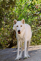 694920034 an arctic wolf canis lupus wanders about its enclosure at a wildlife rescue facility - animal is a wildlife rescue animal  - species is endangered in its native habitat