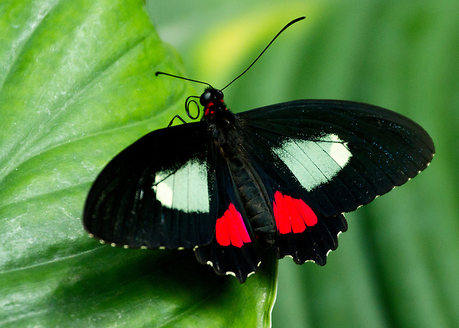 A Cattleheart sitting on a green leaf with wings fully spread  showing off his beautiful markings, his probiscus curled and fuzzy body apparent.