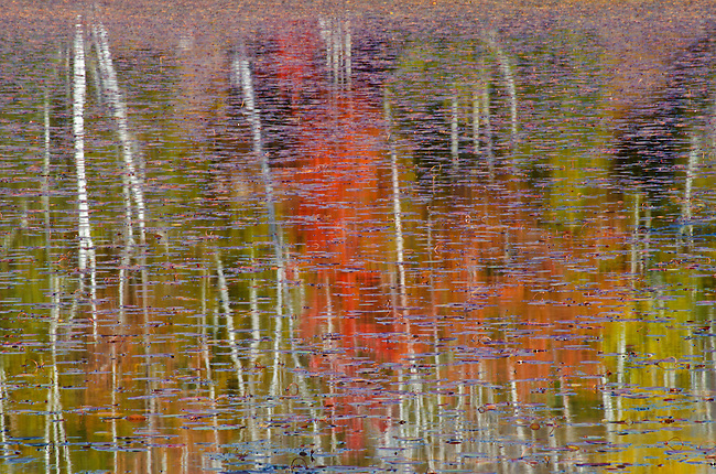 Water Shields cover the greater part of Big Island Lake and contrast with autumn color and Birch reflections, Hiawatha National Forest, Alger County, Michigan
