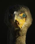 Double-crested Cormorant closeup