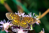 03374-002.01 Elada Checkerspot butterfly (Texola elada) on Greg's Mistflower (Eupatorium gregii)  Hidalgo Co.  TX