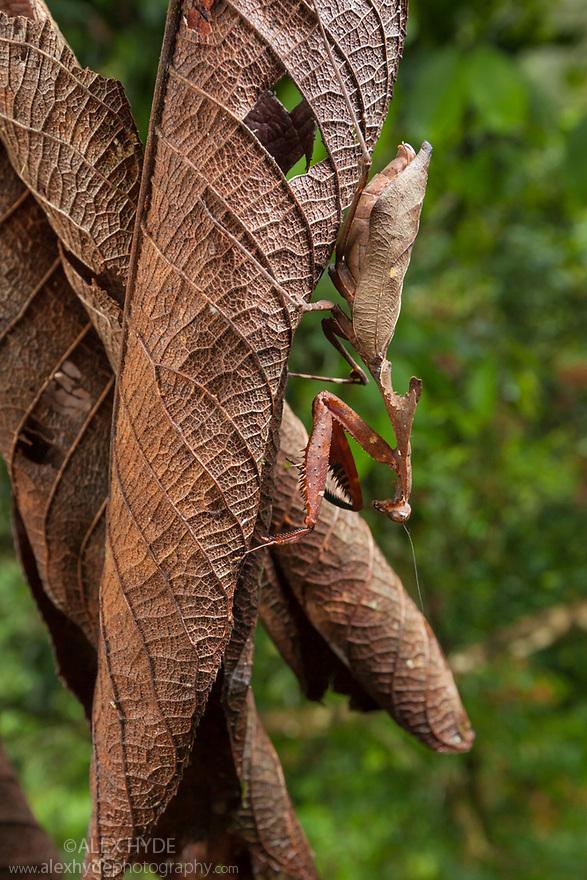 Dead Leaf Mantis {Deroplatys dessicata} camouflaged on dead leaves, Danum Valley, Sabah, Borneo.