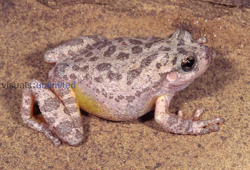 Canyon treefrog (Hyla arenicolor)