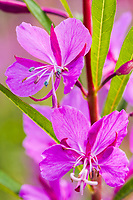 Fireweed blossoms along the Glenn Highway, southcentral, Alaska.