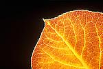 Aspen Leaf detail, San Juan National Forest, Colorado