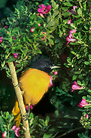 561920007 a wild male northern baltimore oriole icterus glabula glabula perches in flowering sage on south padre island texas