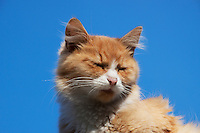 Red and white Cat sunbathing with eyes closed. Backdrop blue autumn Sky