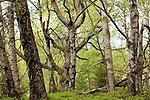 Europa, DEU, Deutschland, Hessen, Rhoen, Hessische Rhoen, Gersfeld, Naturschutzgebiet Rotes Moor, Birken, Wald, Karpatenbirkenwald, Kategorien und Themen, Natur, Umwelt, Landschaft, Landschaftsfotos, Landschaftsfotografie, Landschaftsfoto, Tourismus, Touristik, Touristisch, Touristisches, Urlaub, Reisen, Reisen, Ferien, Urlaubsreise, Freizeit, Reise, Reiseziele, Ferienziele<br /> <br /> [Fuer die Nutzung gelten die jeweils gueltigen Allgemeinen Liefer-und Geschaeftsbedingungen. Nutzung nur gegen Verwendungsmeldung und Nachweis. Download der AGB unter http://www.image-box.com oder werden auf Anfrage zugesendet. Freigabe ist vorher erforderlich. Jede Nutzung des Fotos ist honorarpflichtig gemaess derzeit gueltiger MFM Liste - Kontakt, Uwe Schmid-Fotografie, Duisburg, Tel. (+49).2065.677997, ..archiv@image-box.com, www.image-box.com]