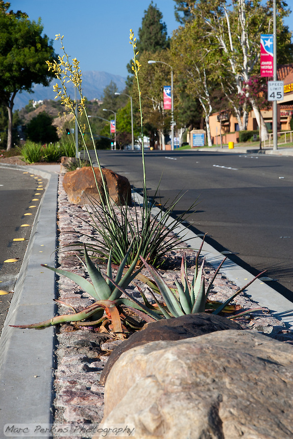 "Yellow yuccas - Hesperaloe parviflora - on the northern median of the intersection. This was part of the 2015 rebuild of the Grand Avenue and Diamond Bar Boulevard intersection for Diamond Bar's 2015 ""Grand Avenue Beautification"" project, landscape architecture for the project was by David Volz Design."
