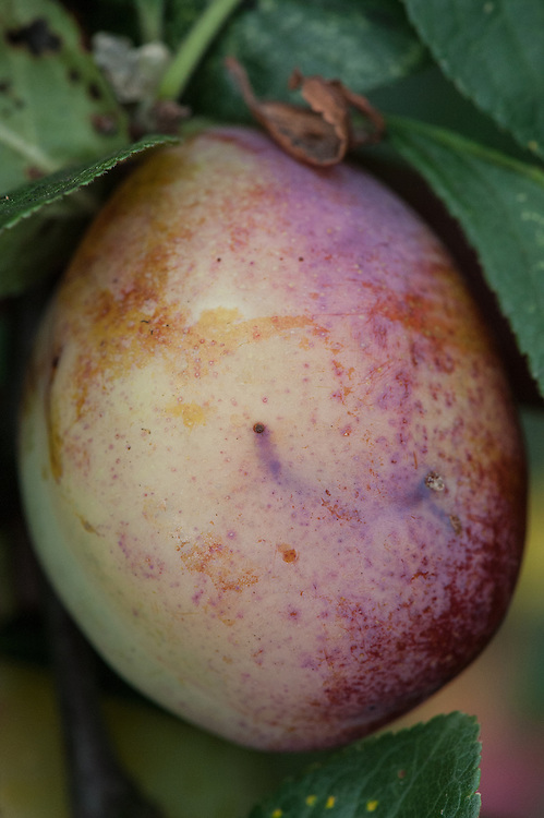 Hole in the skin of a plum made by the entry or exit of a plum fruit moth caterpillar or plum sawfly larva.