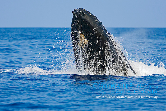 Humpback Whale in competitive group, displaying head lunge behavior, Megaptera novaeangliae, Hawaii, Pacific Ocean.