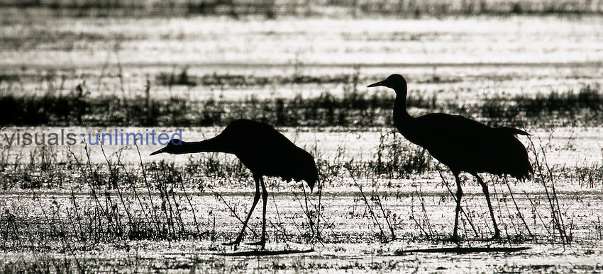Sandhill Cranes wading in a marsh ,Grus canadensis, North America.