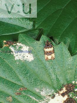 Tufted Bird Dropping Moth ,Cerma cerintha,