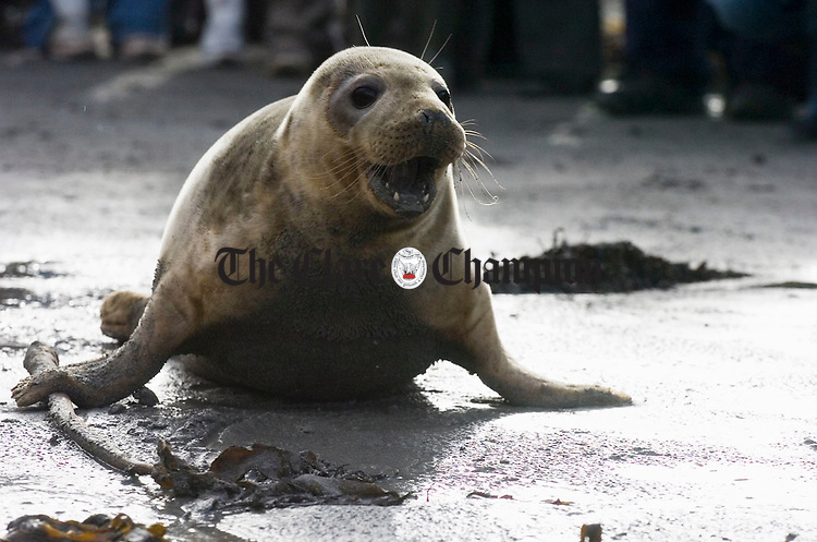 "An excited  ""Kelly"", the seal, which was found on the road in Limerick, makes its way back into the sea at Seafield, Quilty, after being released by the Irish Seal Sanctuary on Sunday last. Photograph by John Kelly."