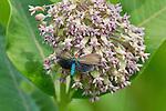 Ctenucha moth