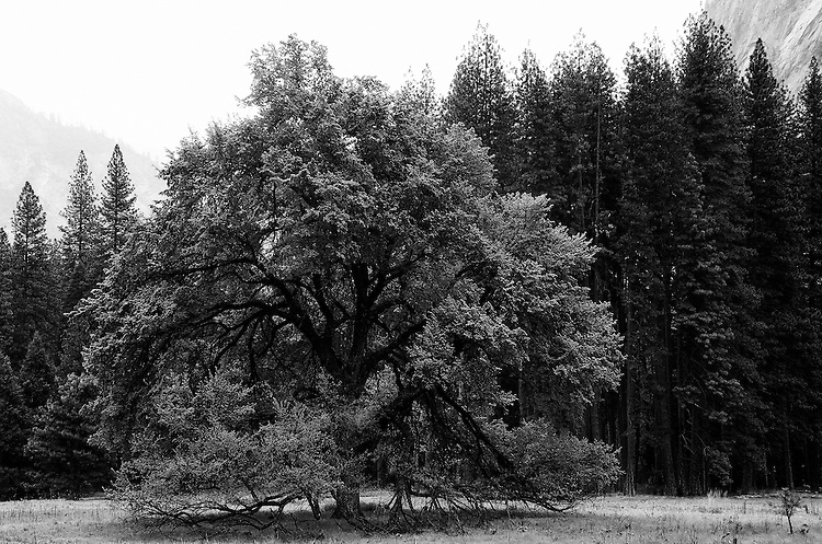 Elm Tree in Cook's Meadow , Yosemite   35mm image on Ilford Delta 100 film
