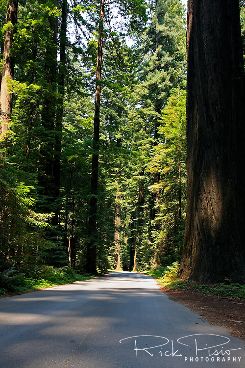 A single lane road winds it way through redwood trees and ferns near Weott in Northern California.