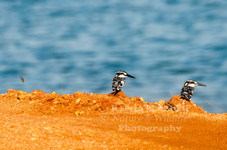 Pied kingfishers (Ceryle rudis) is a water kingfisher and is found widely distributed across Africa and Asia. Its black and white plumage, crest and the habit of hovering over clear lakes and rivers before diving for fish makes it distinctive. Males have a double band across the breast while females have a single gorget that is often broken in the middle. They are usually found in pairs or small family parties. When perched, they often bob their head and flick up their tail. Bundala National Park - Sri  Lanka.