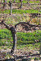 Chateau Rives-Blanques. Limoux. Languedoc. Vines trained in Cordon royat pruning. Chenin Blanc grape vine variety. Terroir soil. France. Europe. Vineyard.