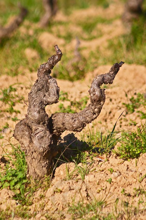 Old vines trained in gobelet style. Grenache Domaine de la Tour du Bon Le Castellet Bandol Var Cote d'Azur France