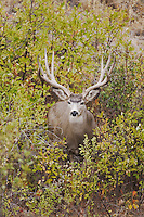 Mule Deer, Black-tailed Deer (Odocoileus hemionus), buck,Dead Horse Point State Park, Utah, USA