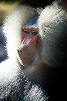 MAMMALS<br /> Male Mandrill<br /> Phoenix Zoo