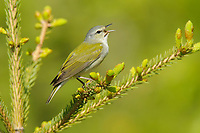 Adult male Tennessee Warbler (Vermivora peregrina) singing. Alberta, Canada. May.