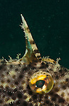 strap-weed filefish (Pseudomonacanthus macrurus)