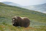 Musk Ox female (Ovibos moschatus), Dovrefjell National Park, Norway