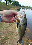Largemouth Bass caught in a community pond.
