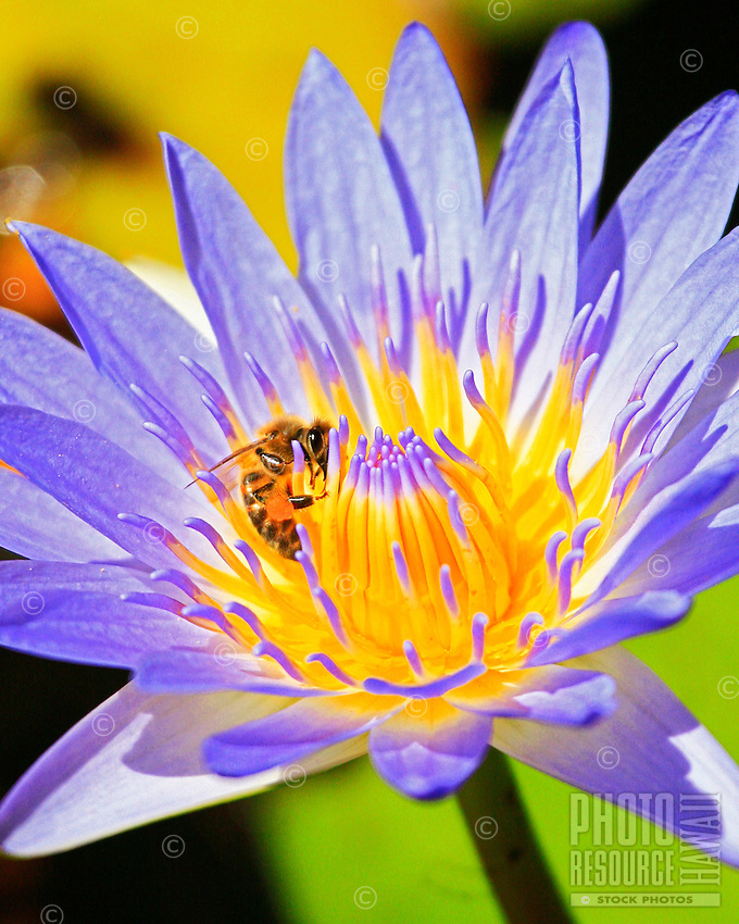 Lotus flower with bee.