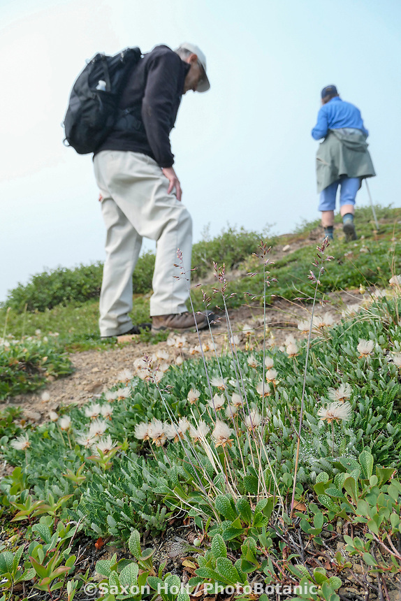 Hiker on subalpine tundra looking at Dryas octopetala (Eightpetal mountain Avens) seedhead; Glen Alps Trail in Chugach Mountains, Alaska