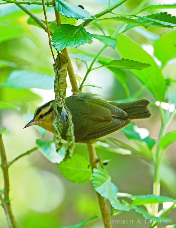 Adult worm-eating warbler