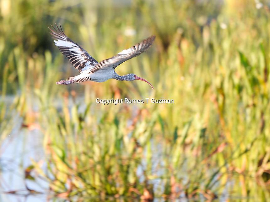 June 8, 2014: Juvenile white ibis (Eudocimus albus) Orlando Wetlands Park Christmas, FL