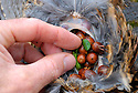 00515-073.06  Ruffed Grouse: Crop of bagged bird shows the bird consumed acorns and a bit of clover.  Hunt, examine, feed, food.