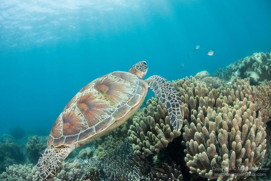 Apo Island, Dauin, Negros Oriental, Philippines; a green sea turtle swimming above  soft corals on the reef