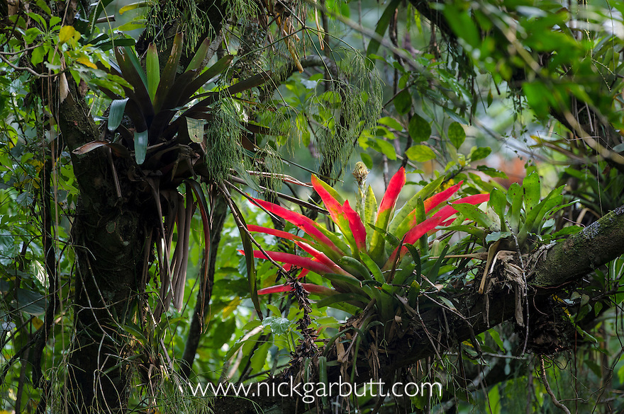 Bromeliad Epiphyte Atlantic Canopy Rainforest 5210 Jpg