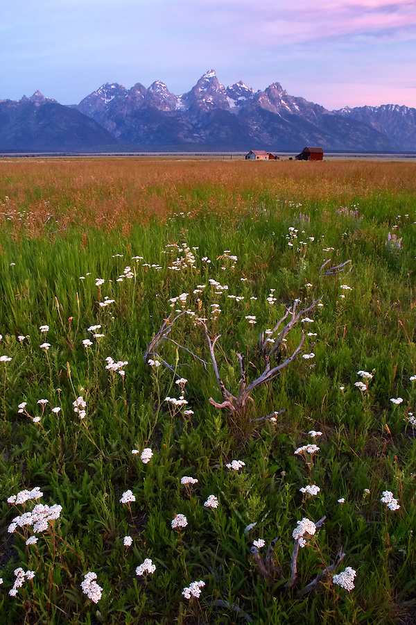 Old barns in meadow below the Grand Teton in early morning, Grand Teton National Park, Teton County, Wyoming, USA